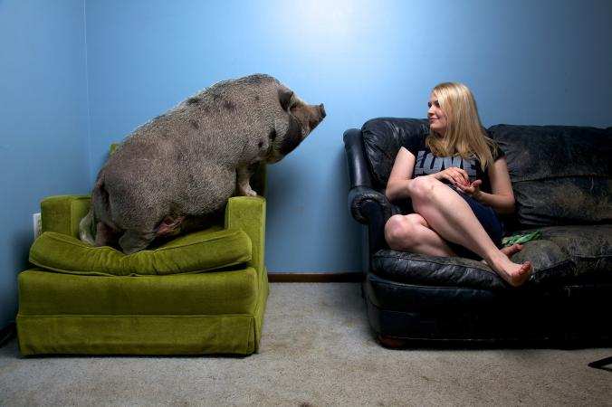 American Mini Pig Featured On National Geographic