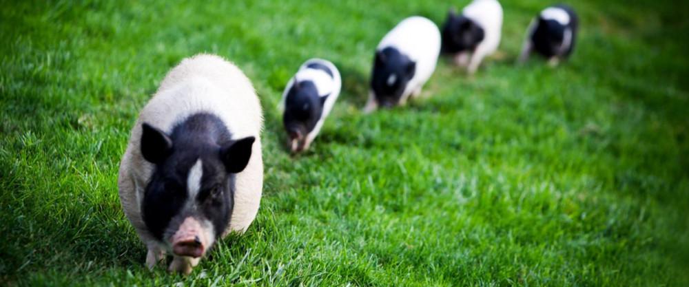 Asian miniature pigs photo 327