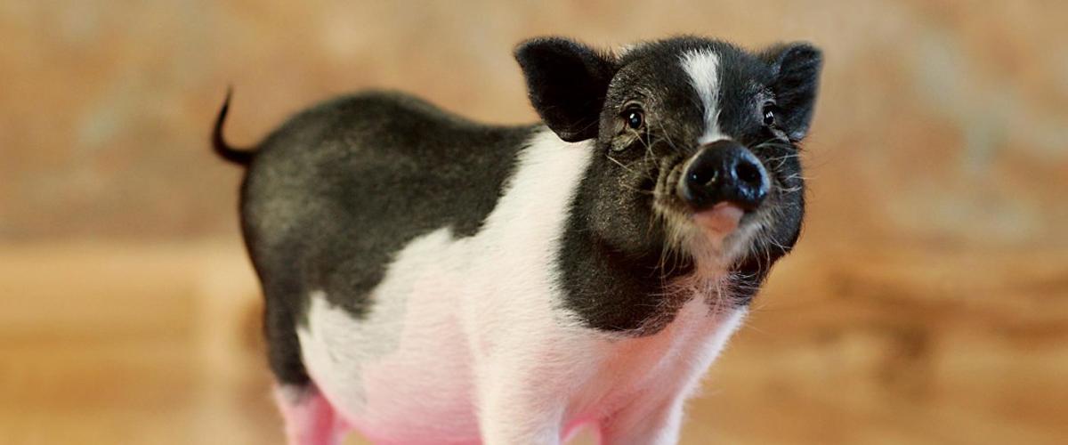 cute skinny pig