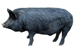 American Guinea Hog Breed Standard