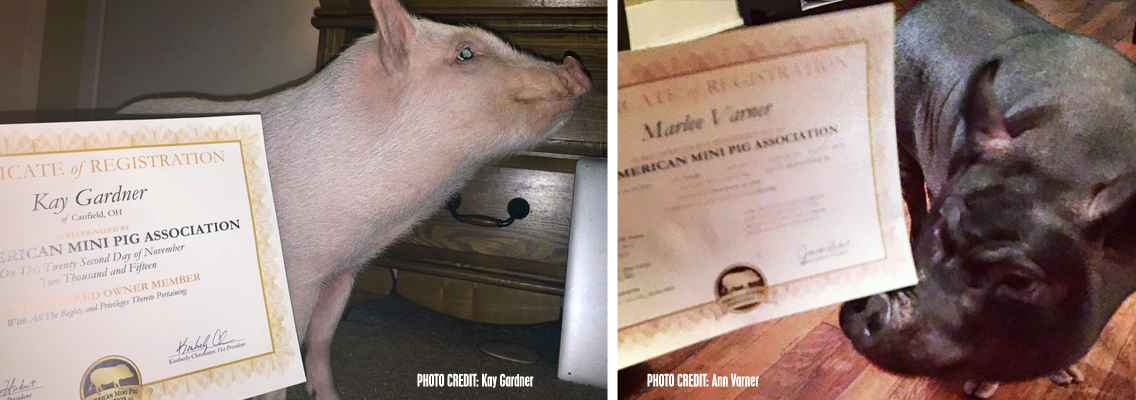 AMPA Pigs with their certificates
