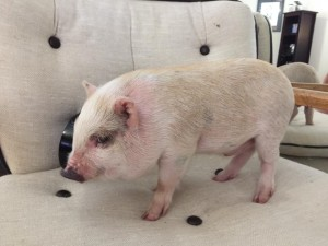 American Mini Pig Standard Colors And Patterns