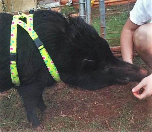 pig gear - Copy