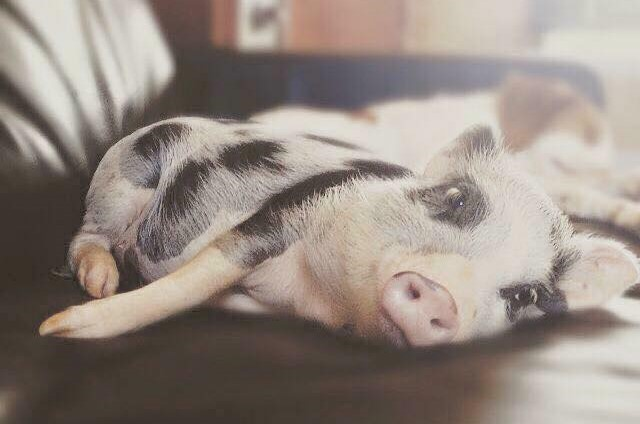 Pigs in a pocket meet the mini pig breeder pigs in a pocket meet the mini pig breeder voltagebd Choice Image