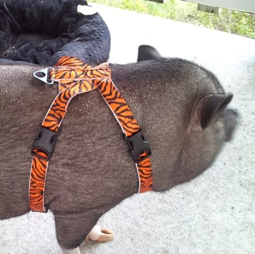 Best Mini Pig Harness Voted By Mini Pig Parents