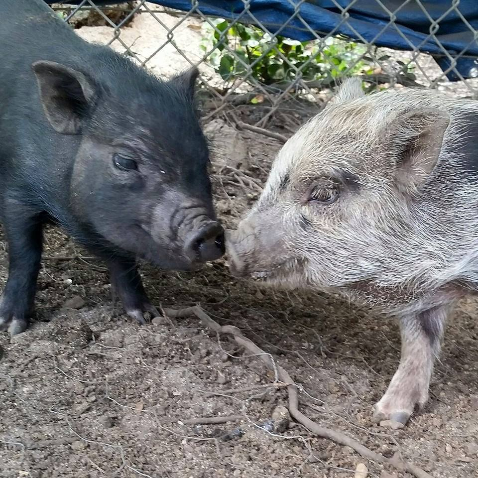Introducing Piglet To Pets Amp Older Pigs
