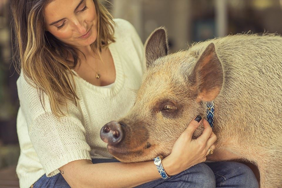 teaching pigs gentle