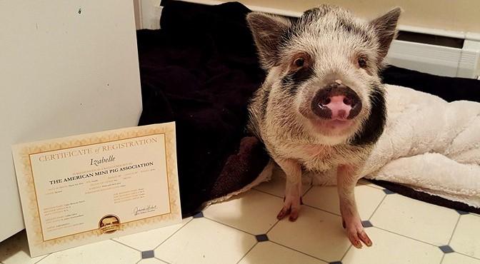 mini pig registry