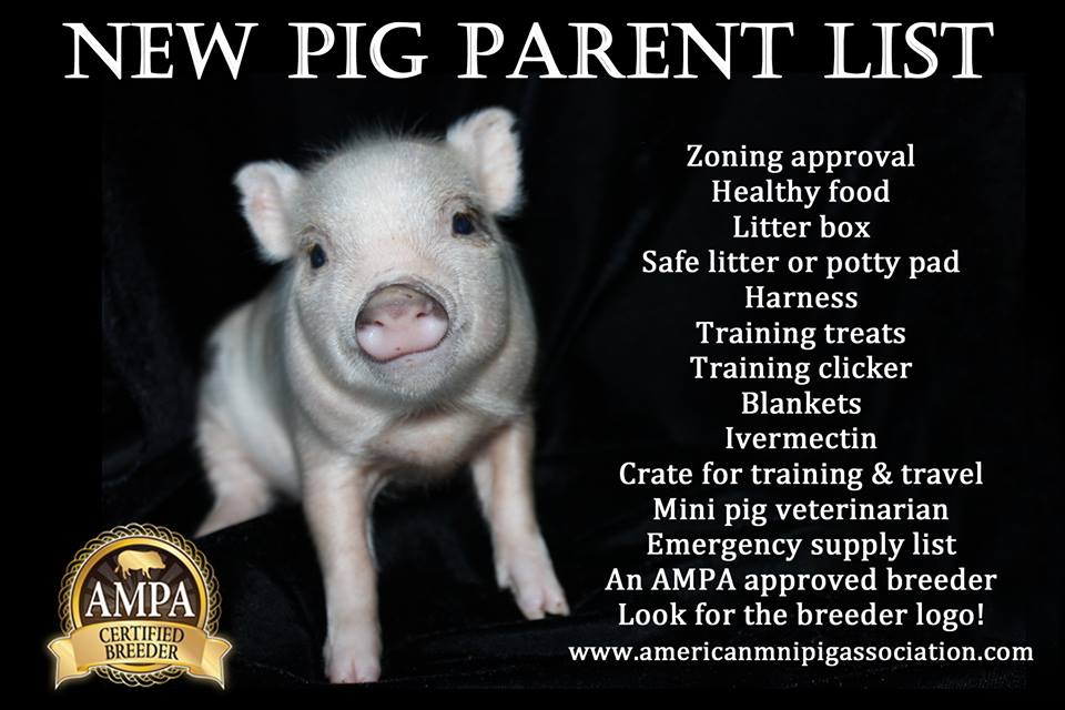 mini pig educational poster