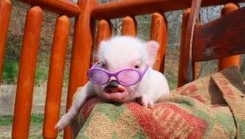 oink oink mini pigs