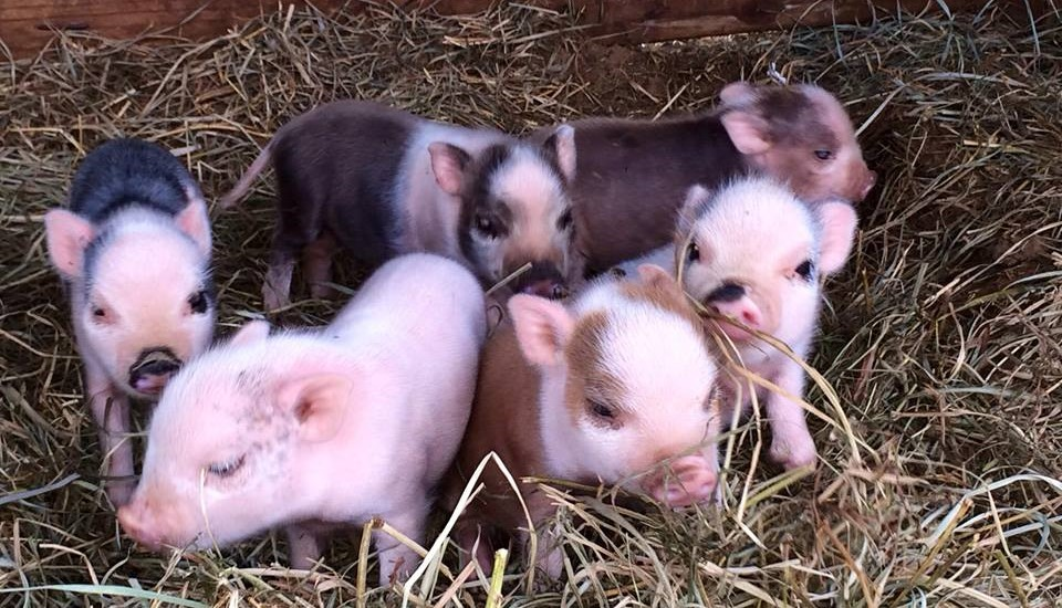 indiana mini pigs