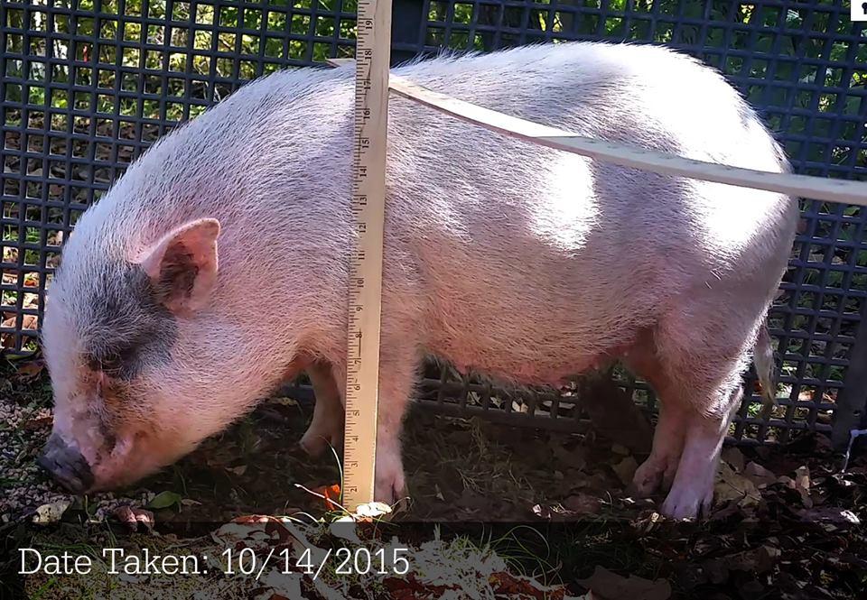 pig pen hill