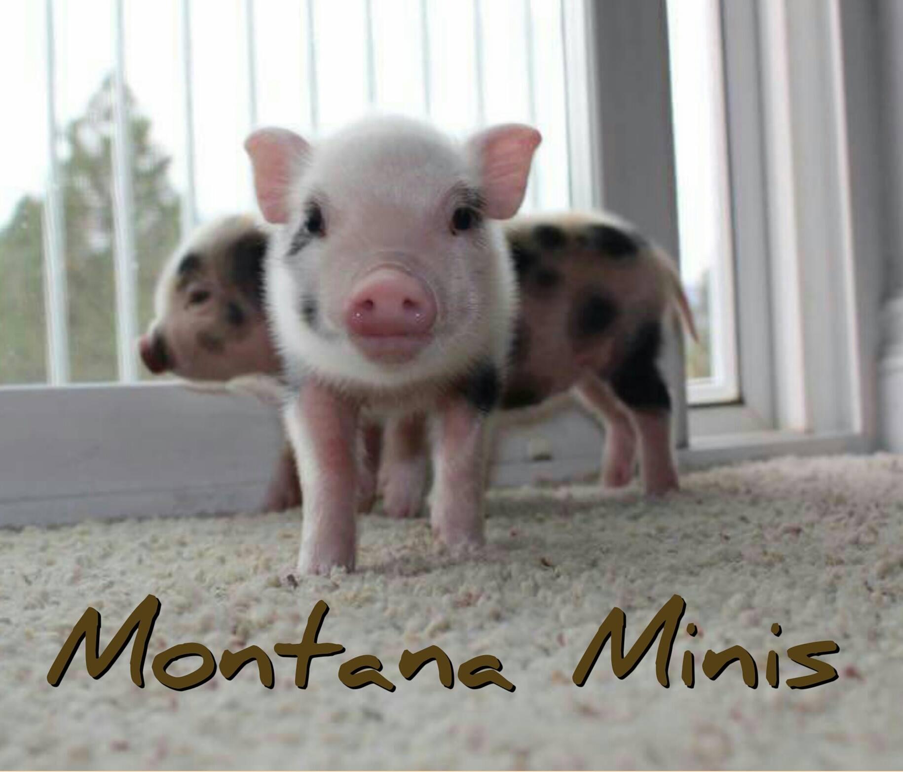 montana minis