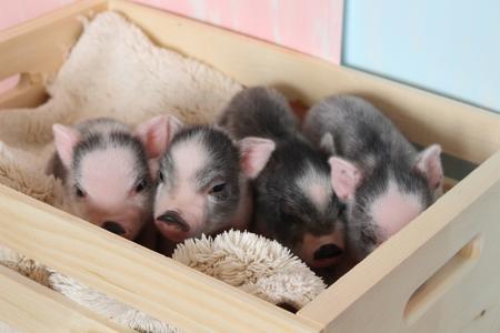 montana mini pigs