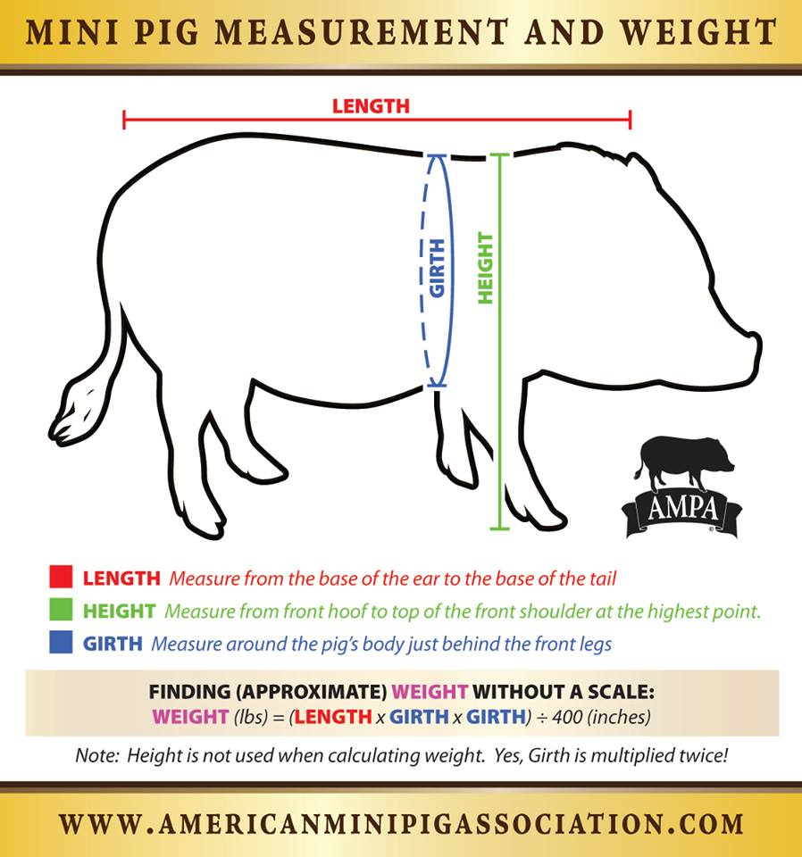 measure pig without a scale
