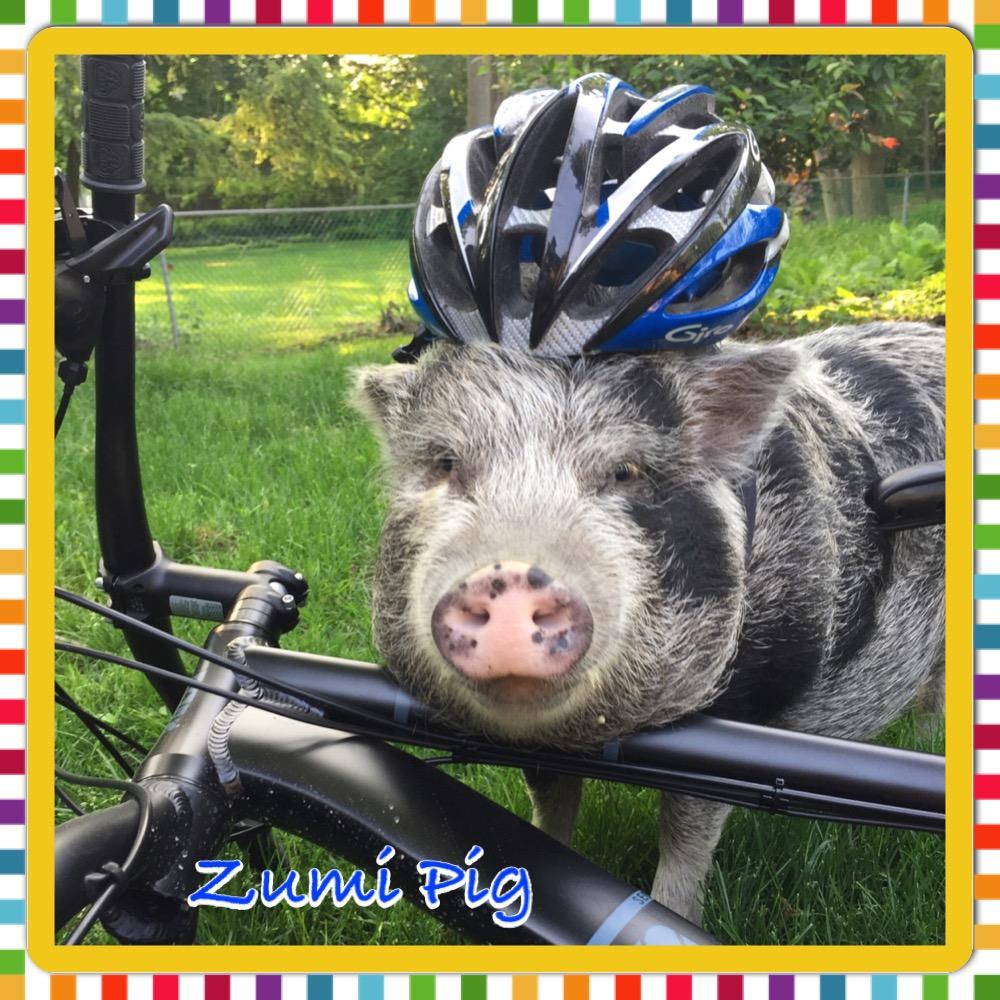 zumi the mini pig hero