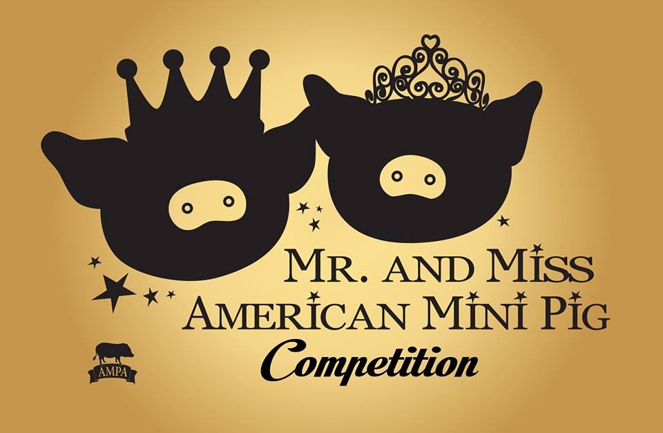 mini pig pageant
