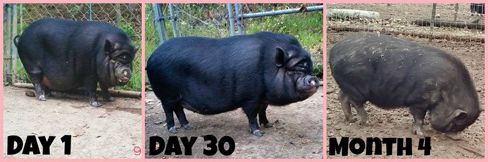 Mini Pig Weight Loss Plan - Welcome to Fat Camp -