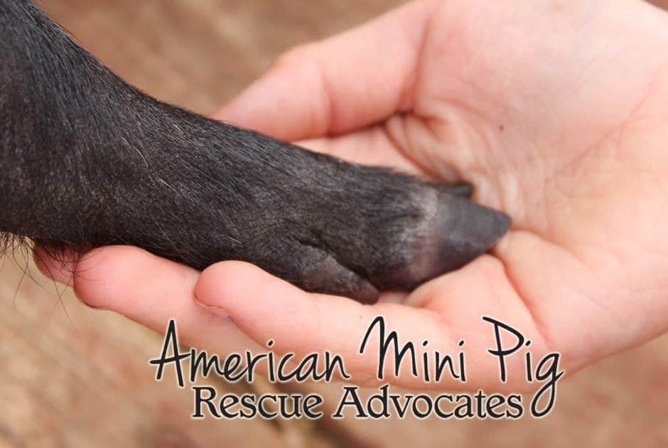 rescue pigs