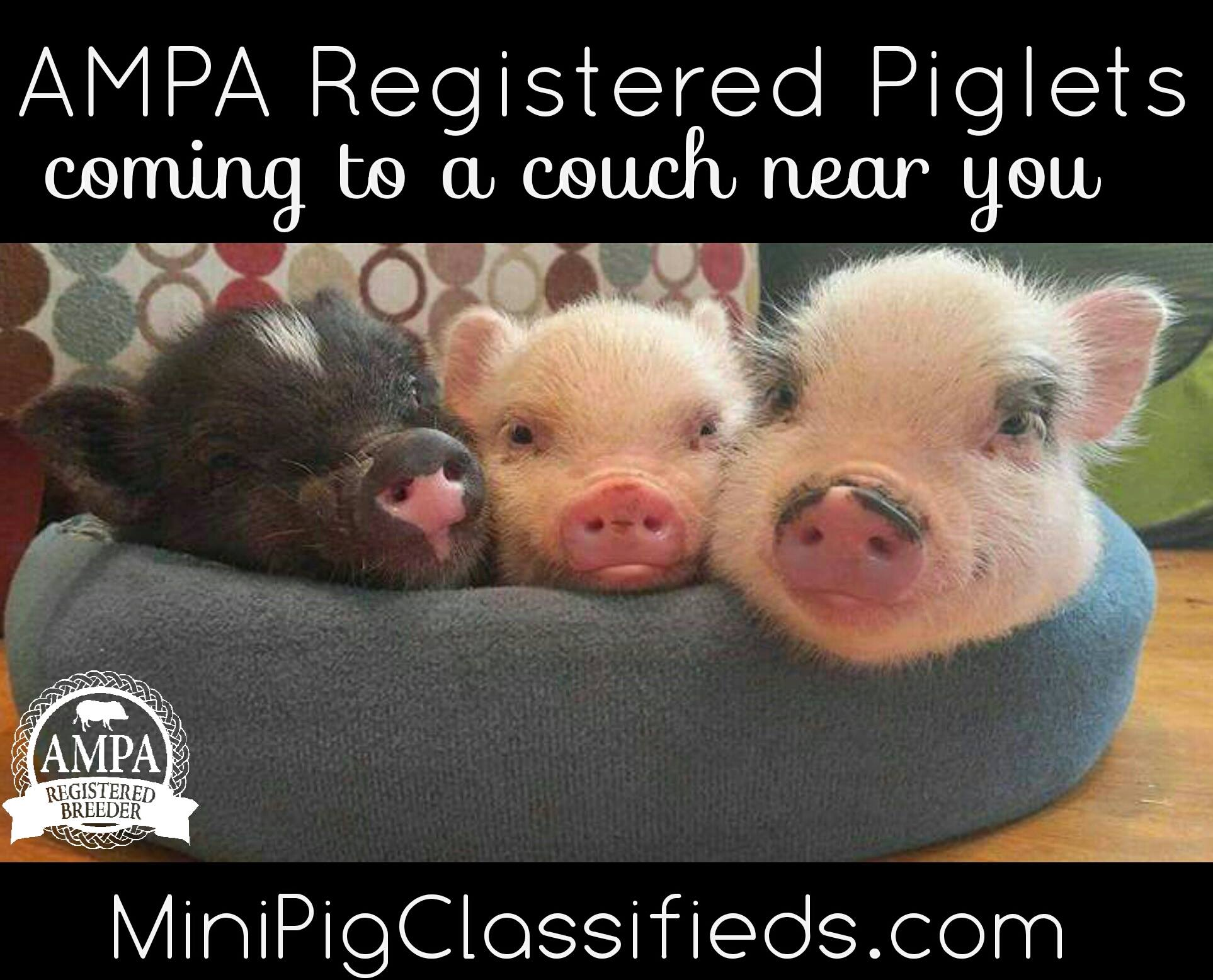 registered piglets