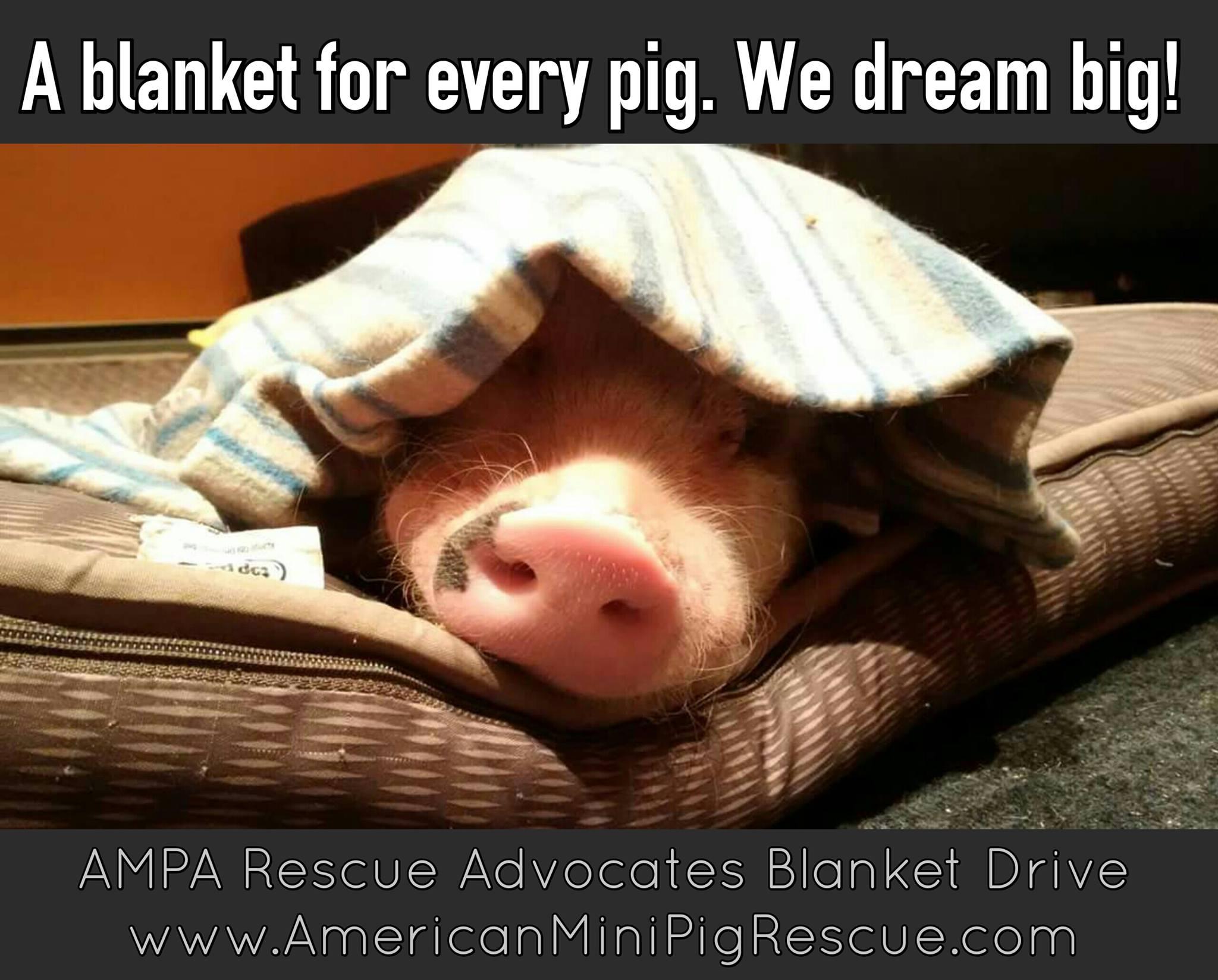 mini pig blanket drive