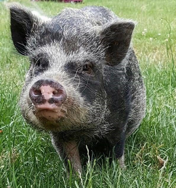 sharp's mini pigs