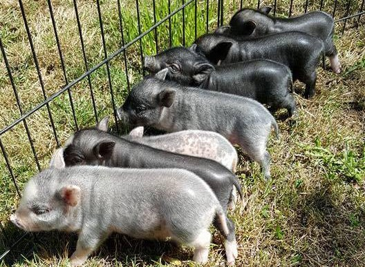 sharp's little pig town mini pig breeder
