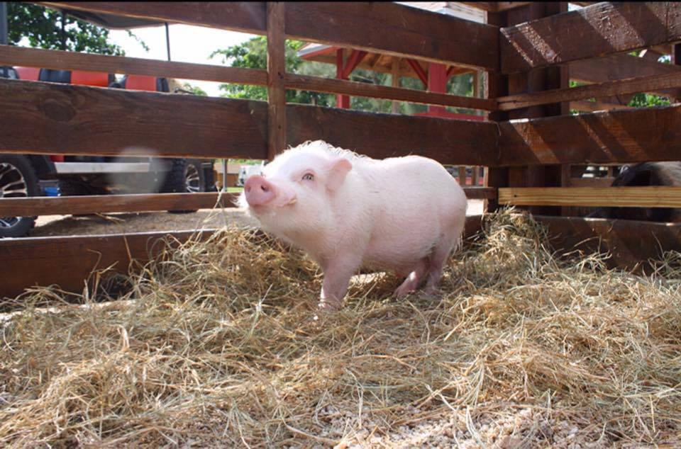 characteristics of mini pig vs farm pig