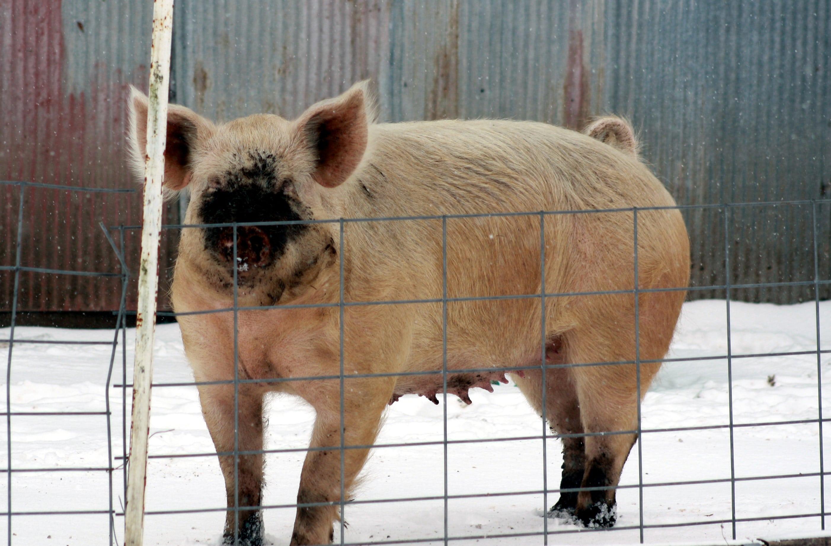 farm pig cropped