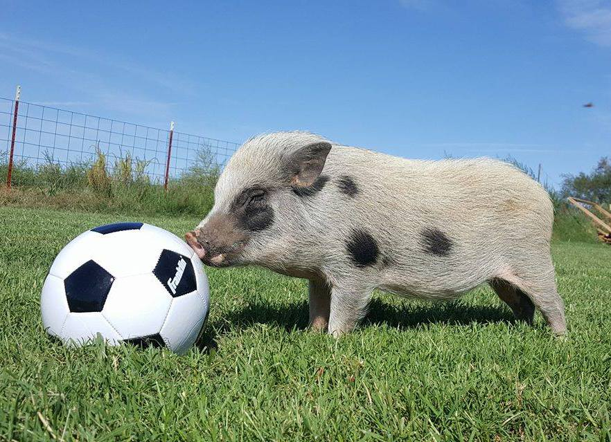 mini pig therapy training