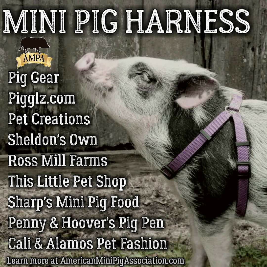 mini pig collar dangers, mini pig harness