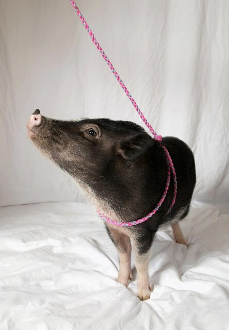 mini pig harness