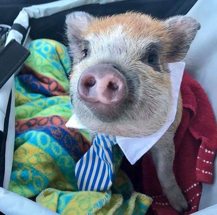 chuck norris mini pig hero