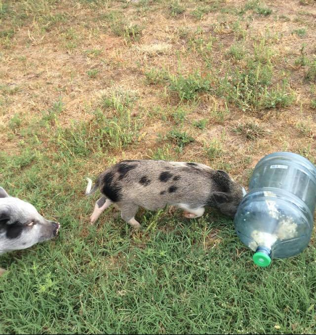 homemade pig enrichment