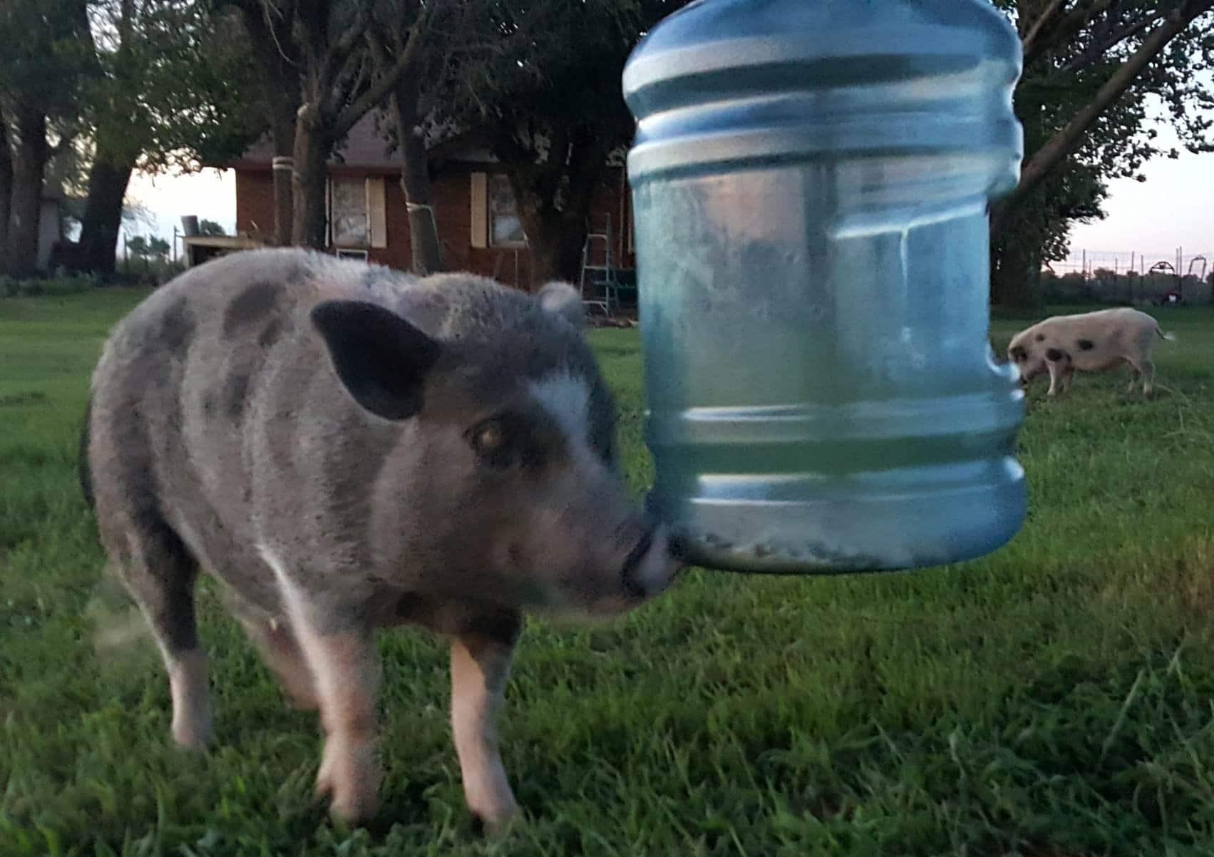 hanging pig feeder