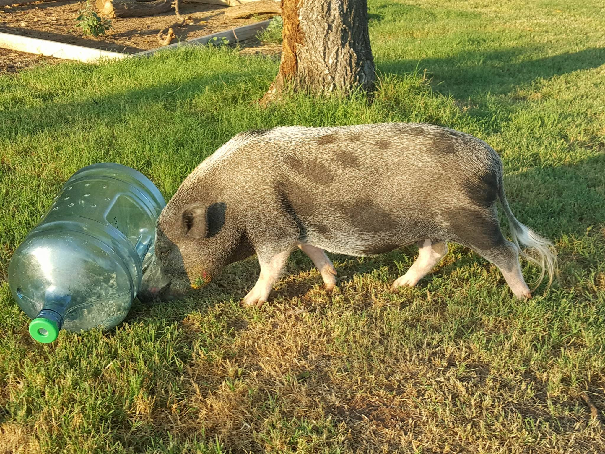 mini pig food dispenser