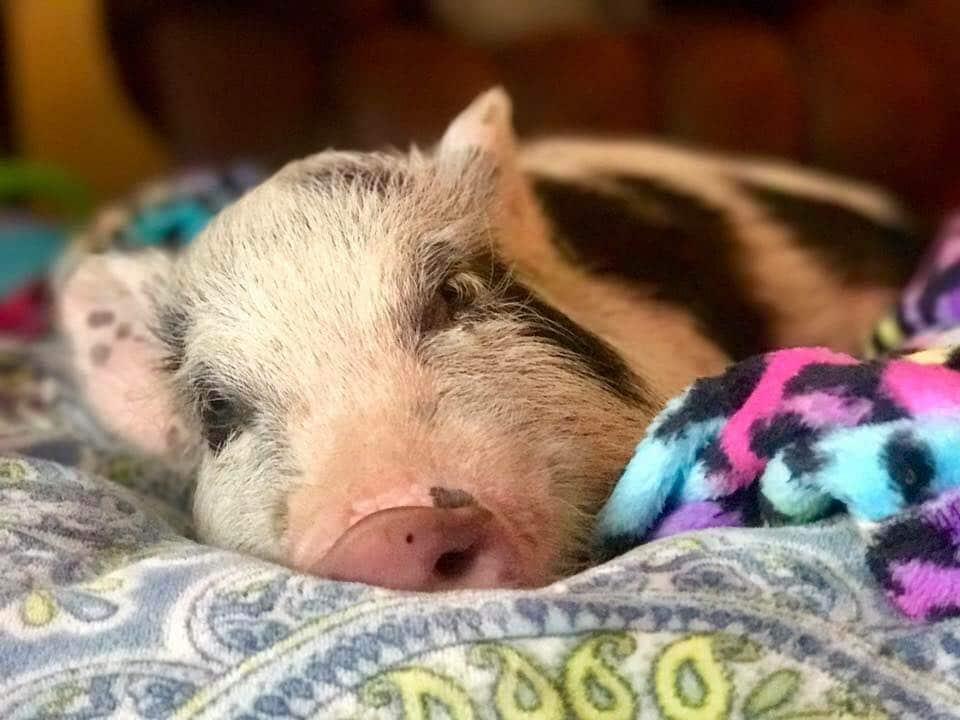 mini pig sedation