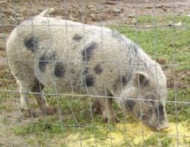 American Mini Pig