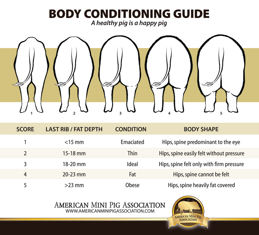 Pig Butt Chart, Pig Body Condition Chart
