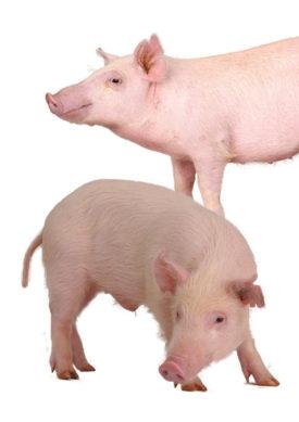 Hanford Mini Swine
