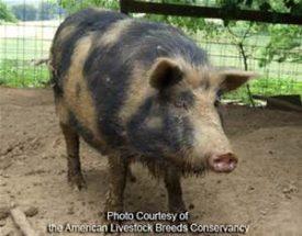 Ossabaw Island Hog