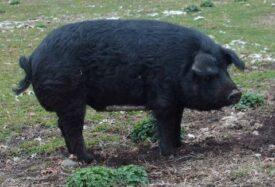 Mulefoot Hog Breed